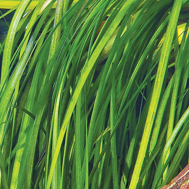 Zdarma! Akvrajivní rostliny Valiseria...